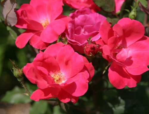3 Times For When To Prune Knockout Roses In Tennessee