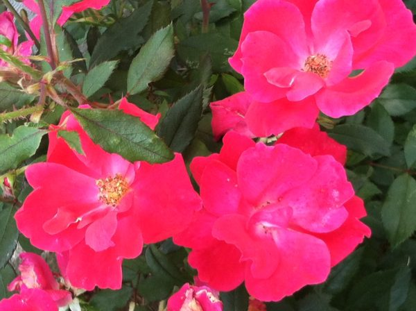 Perennial knockout roses