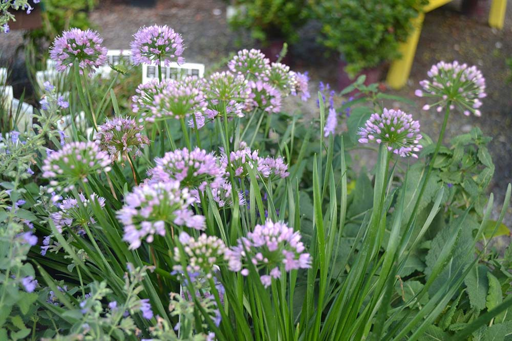 Allium Sun Perennial At Nashville Garden Center