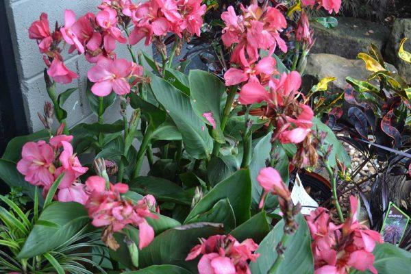 Pink canna plants
