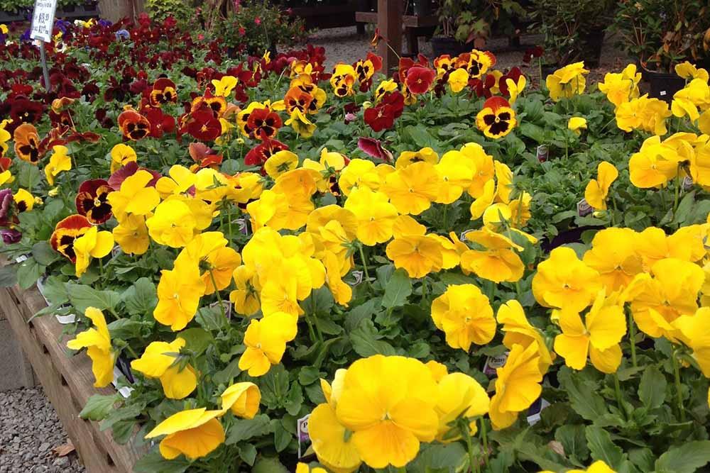 Fall Pansies At JVI Secret Gardens