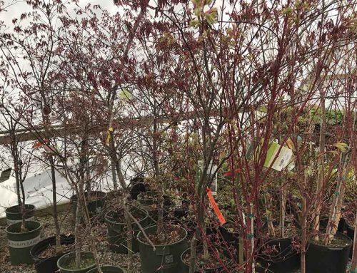 Japanese Maple Trees At Nashville Garden Center