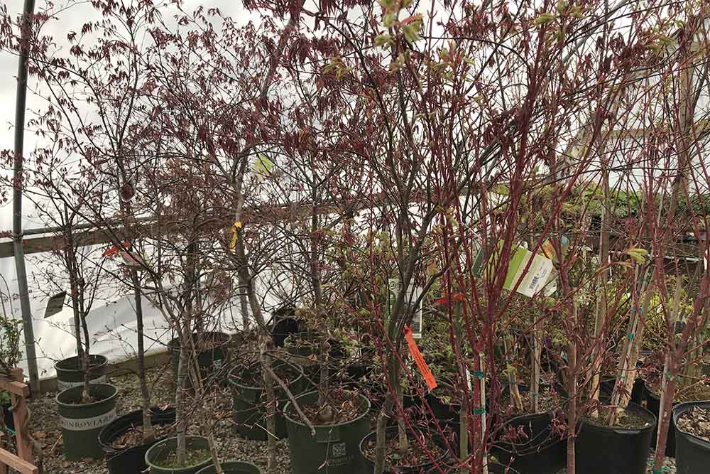 Japanese Maple Trees At Nashville Garden Center