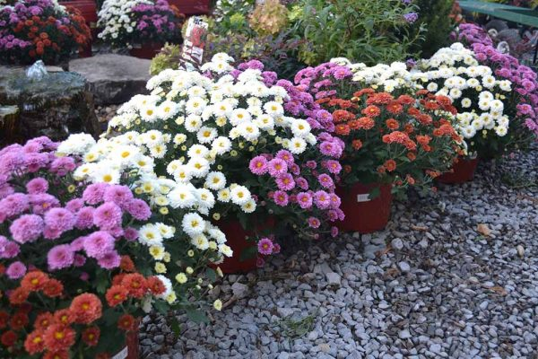 White, pink, and red mums together