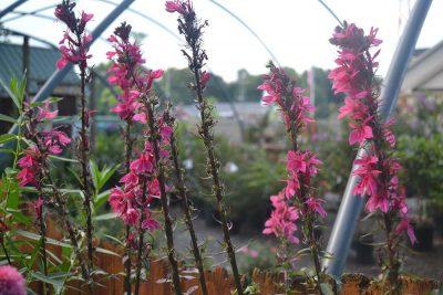 Perennial Lobelia At JVI Secret Gardens