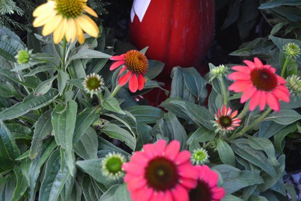 Coneflowers are a great perennial plant