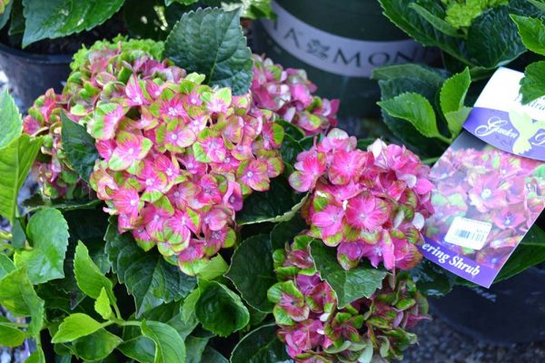 Pink pistachio hydrangeas