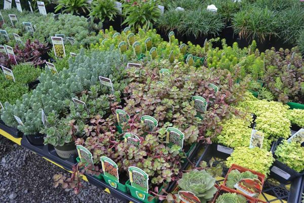 Multiple types of sedum plants