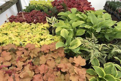 Shade Perennials At JVI Secret Gardens