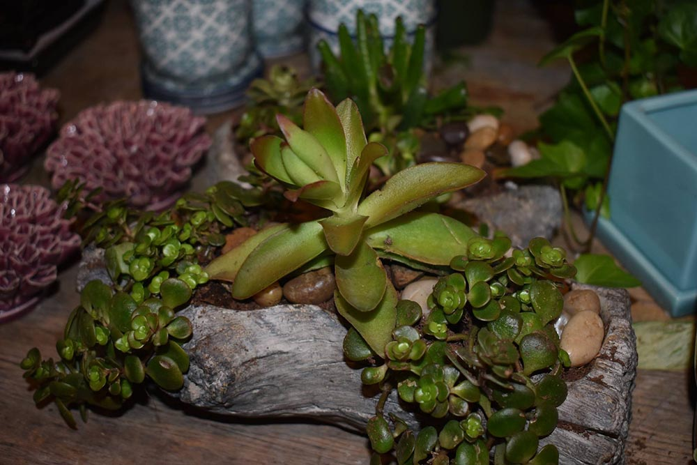 Succulent As A Present Nashville