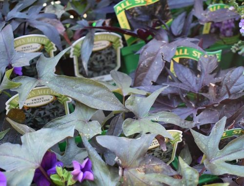 Sweet Potato Vine With Purple Flowers Nashville