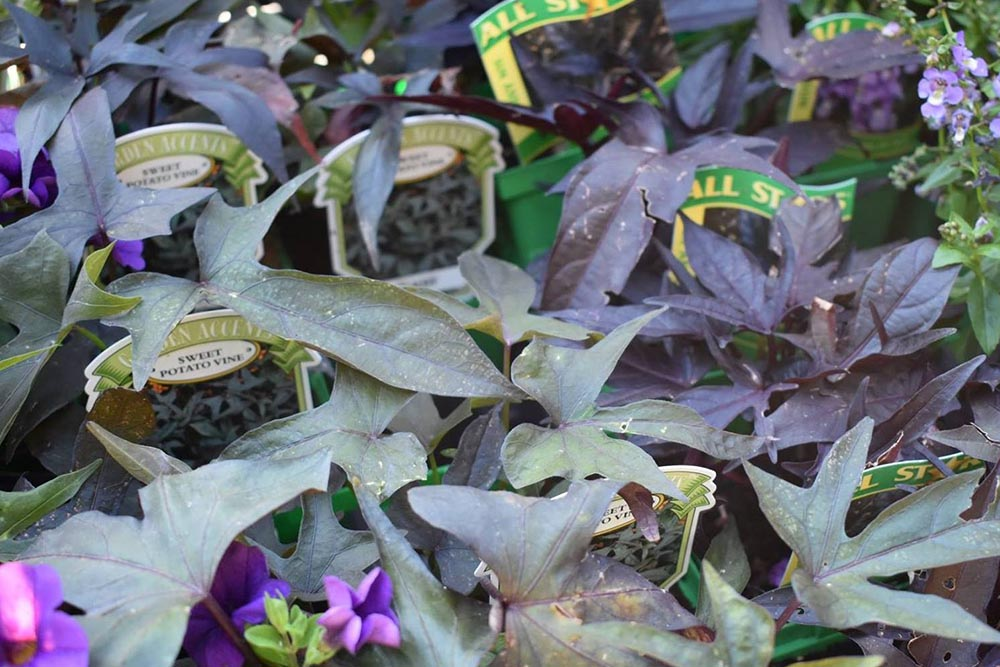 Sweet Potato Vine With Purple Flowers Nashville