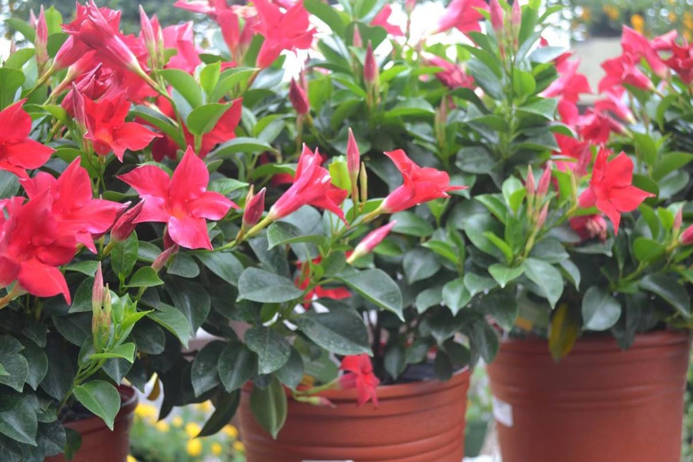 Tropical Mandevilla Plant At JVI Secret Gardens