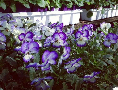 Violas In The Fall – Nashville Garden Center