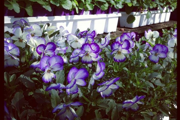 Purple and white violas