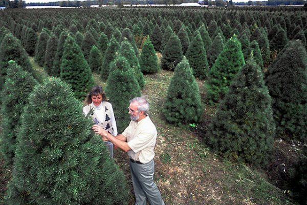 Looking for the right Christmas tree