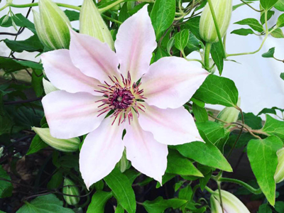 Pale pink and white clematis sun vine