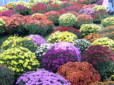 Different selections of colored mums