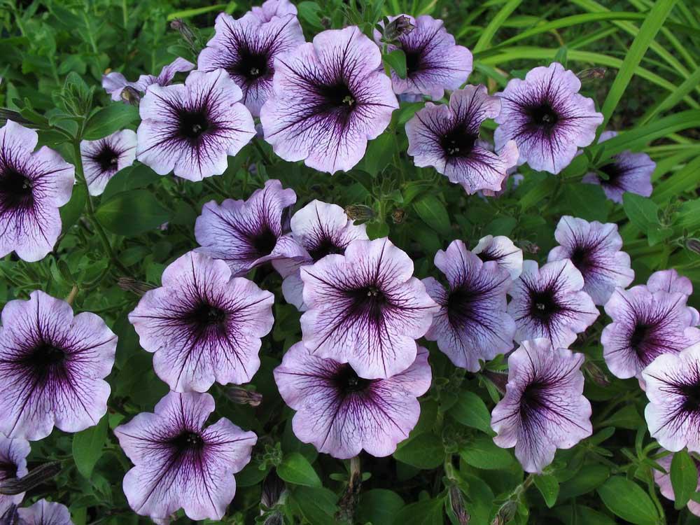 Petunias Planting Growing Caring For Them In Nashville Jvi