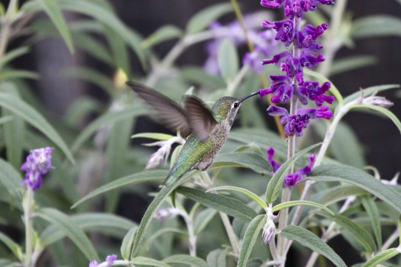 Hummingbird enjoying the nectar from the sage plant that attracts it