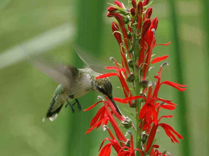 Hummingbird getting the nectar from a red cardinal flower