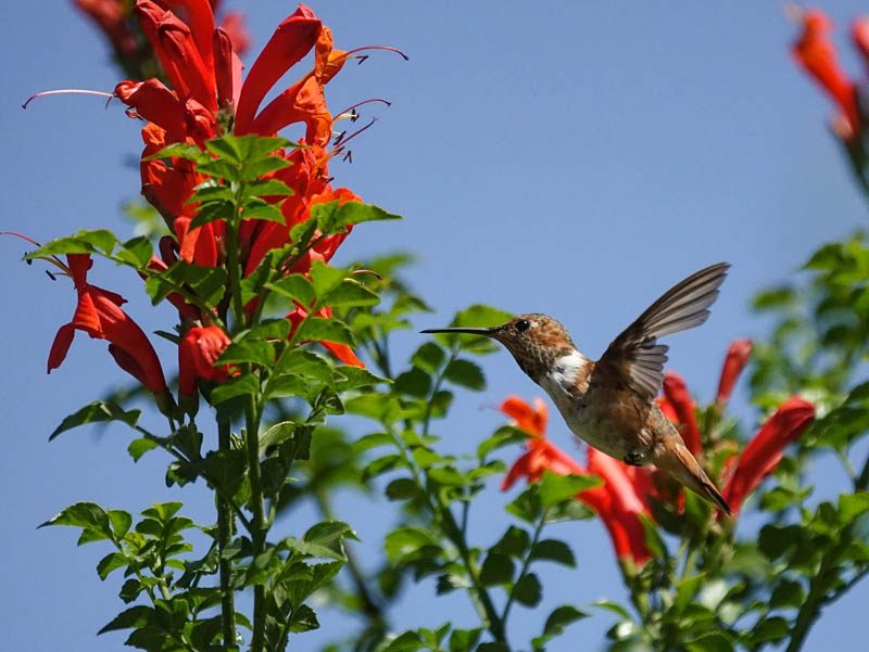 Trumpet honeysuckle attracting a hummingbird