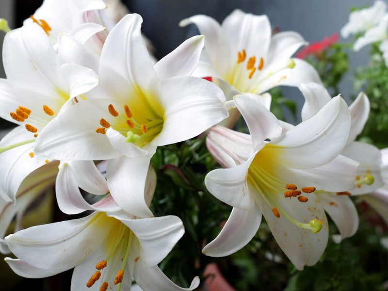 White lilies beautifying a garden as they wait to attract nearby hummingbirds