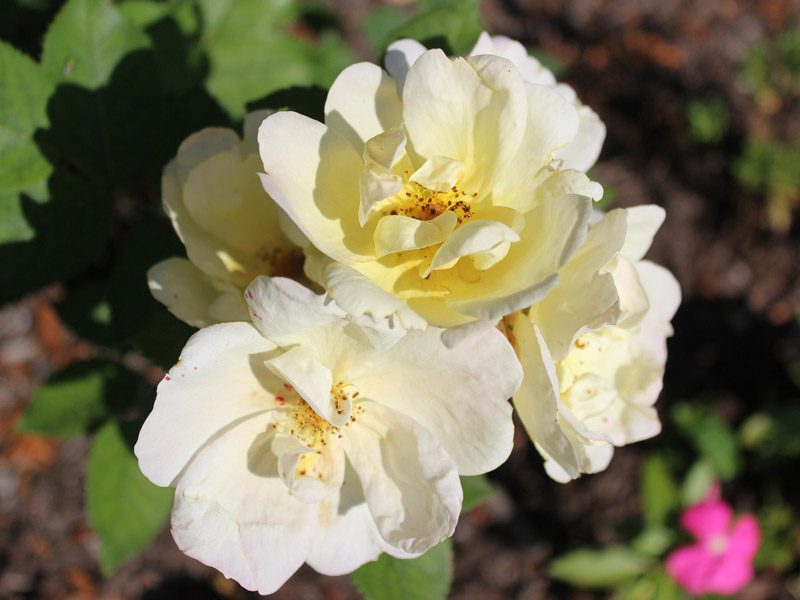 Yellow knockout roses