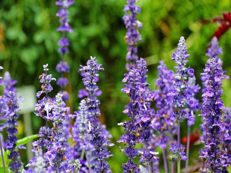 Closeup of the beautiful lavender plant which is a great low maintenance plant for landscaping