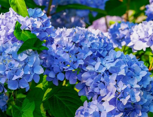 Hydrangea Care In Nashville: Where To Plant & How To Prune