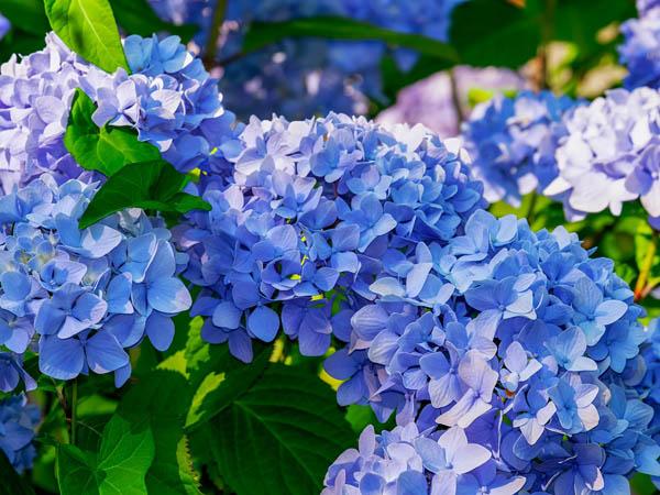 Hydrangea care for this blue bigleaf hydrangea