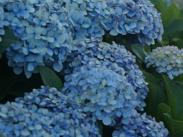 Hydrangea care is important for keeping them healthy and beautiful