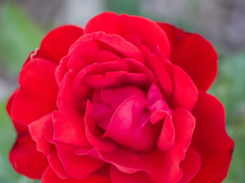 Red knockout rose looking beautiful