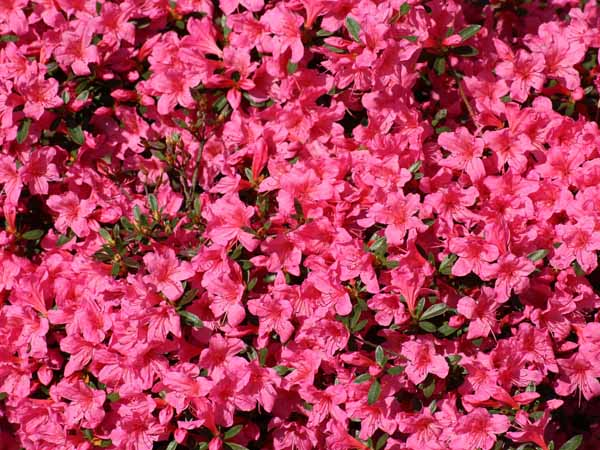 Azalea when to plant pink