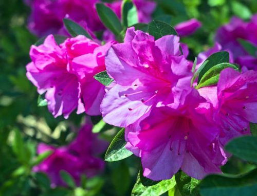 Azaleas: How To Plant, When To Plant, & More Expert Knowledge
