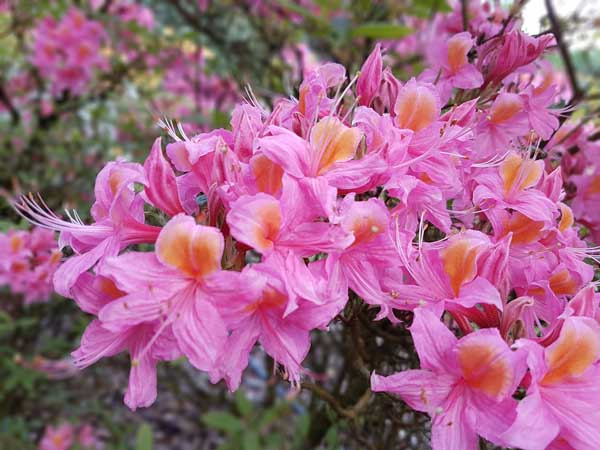 How plant azalea like this pink and orange one