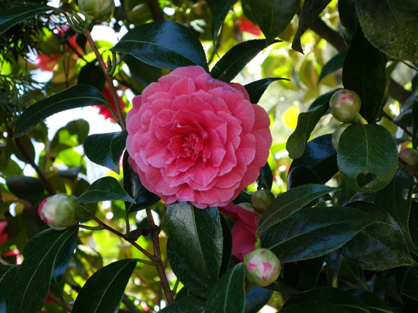 Beautiful pink camellia one of the best winter garden plants