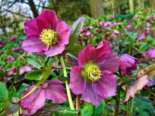 Purplish hellebore in a garden