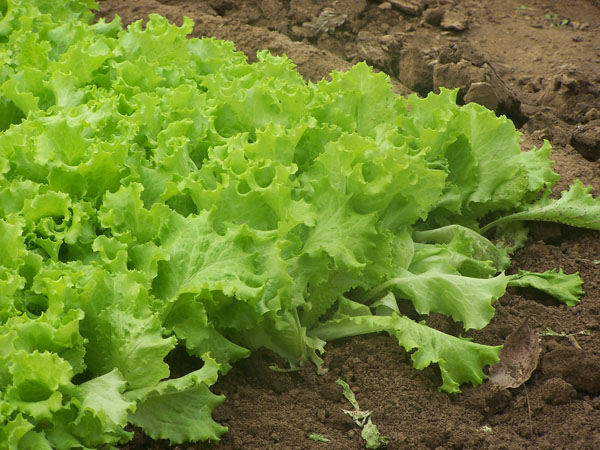 Romaine lettuce is one of the best fall vegetables for gardens