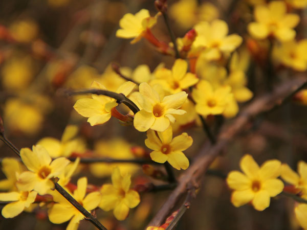 Winter jasmine a bright yellow winter garden plant