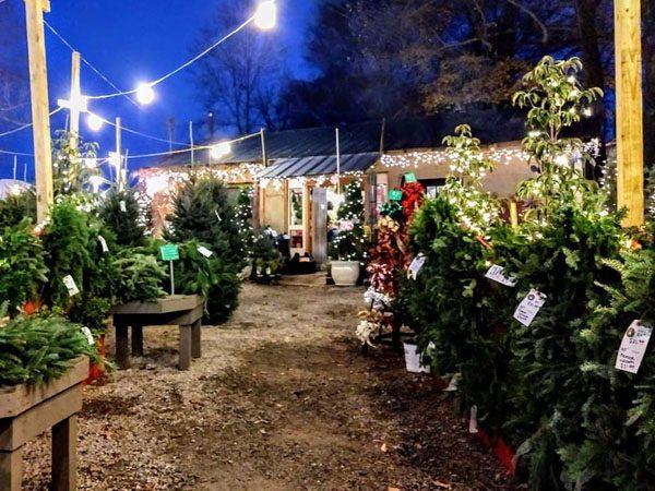 Christmas trees for sale in Nashville at JVI Secret Gardens