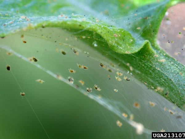 Spider mites are a nasty form of houseplant pests