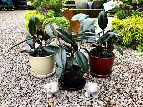 3 rubber tree plants