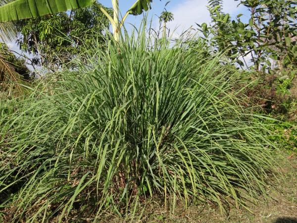 Citronella as a mosquito repelling plant