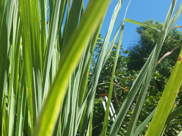 Lemongrass keeps insects away and is a tasty addition to meals