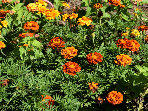 Marigolds are beautiful and keep mosquitoes at bay