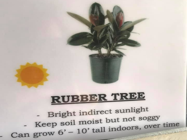 Rubber tree growing and planting info