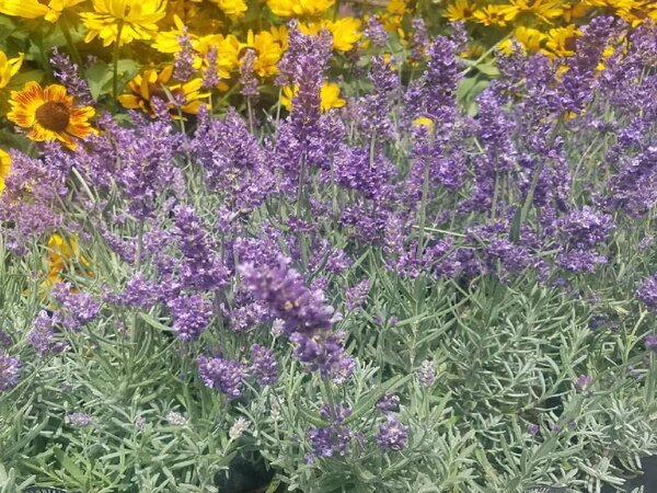 The Best Way To Care For Lavender During Winter