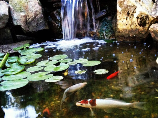 Pond with fish and lilypads