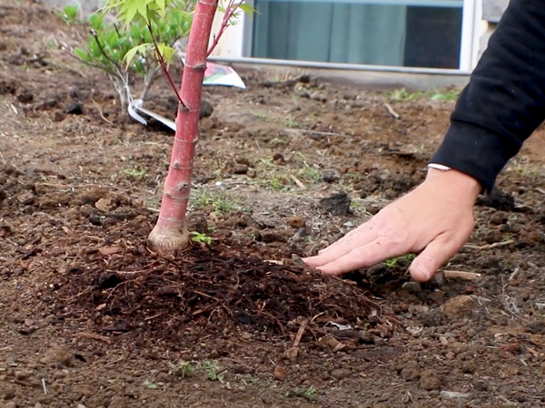 Hand near newly planted tree with root ball above ground